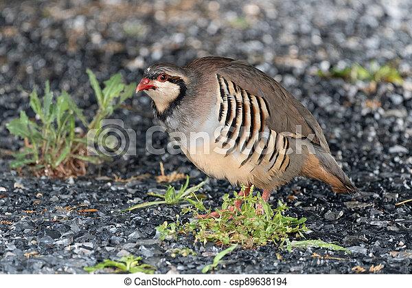 Wild Chukar in the Outdoors - csp89638194