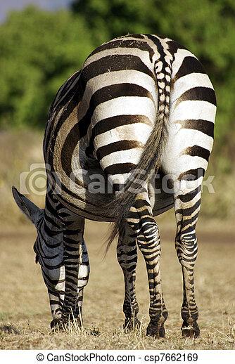 Wild common zebra feeding - csp7662169