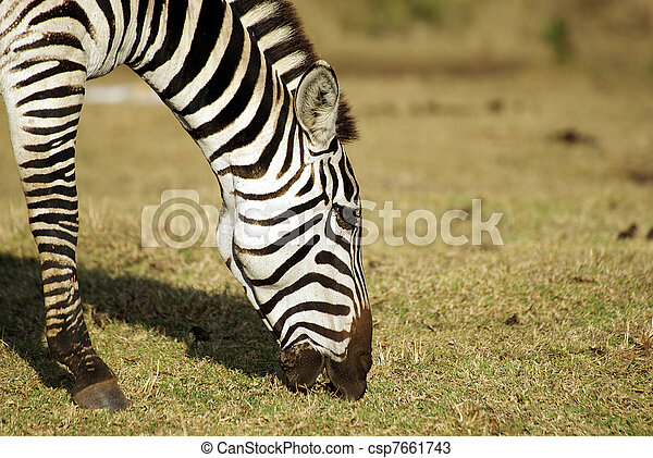 Wild common zebra grazing portrait - csp7661743
