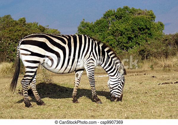 Wild common zebra grazing - csp9907369
