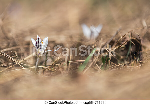 Wild crocus on the forest on a lawn on a hillside in the spring sunny day. - csp56471126