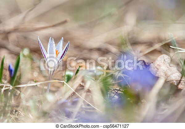 Wild crocus with water drops surrounded by spring pearls - csp56471127