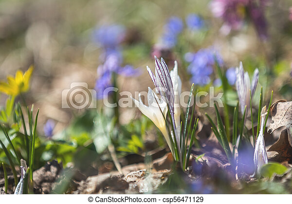 Wild crocus with water drops surrounded by spring pearls - csp56471129