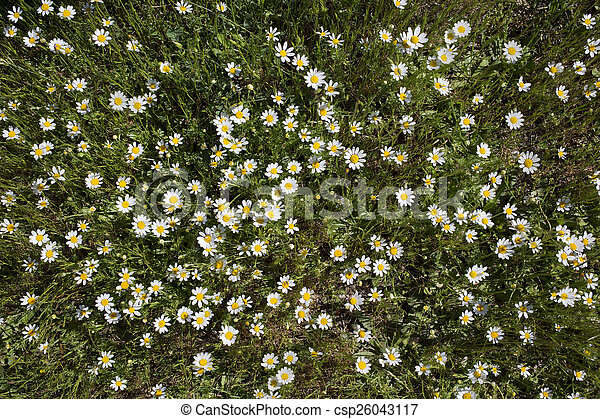 Wild daisies in the grass top view - csp26043117