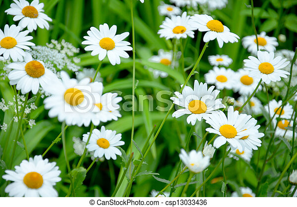 Wild daisies in the meadow - csp13033436