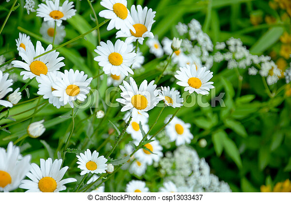Wild daisies in the meadow - csp13033437