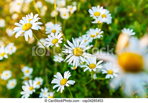 Wild daisy flowers on a field on a sunny day. - csp34265453
