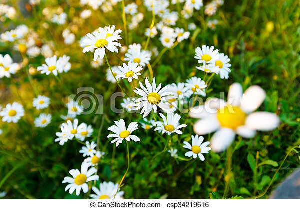 Wild daisy flowers on the field on a sunny day - csp34219616