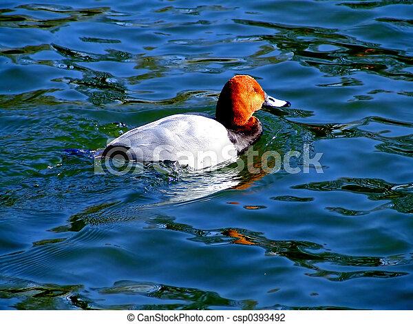 Wild duck - csp0393492
