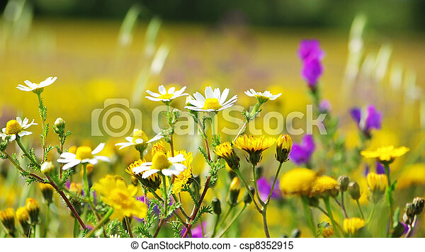 Wild flowers in the field of Portugal. - csp8352915
