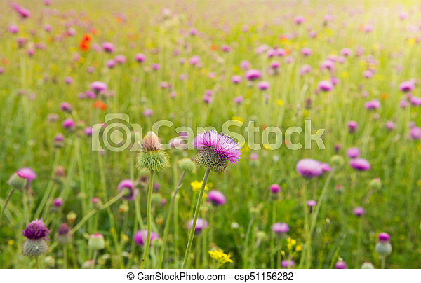 wild flowers of the thistle field of blue flowers blooming thistle