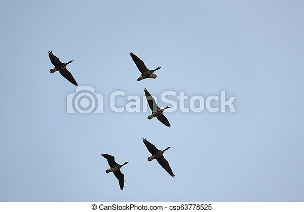 Wild Geese Flying - csp63778525