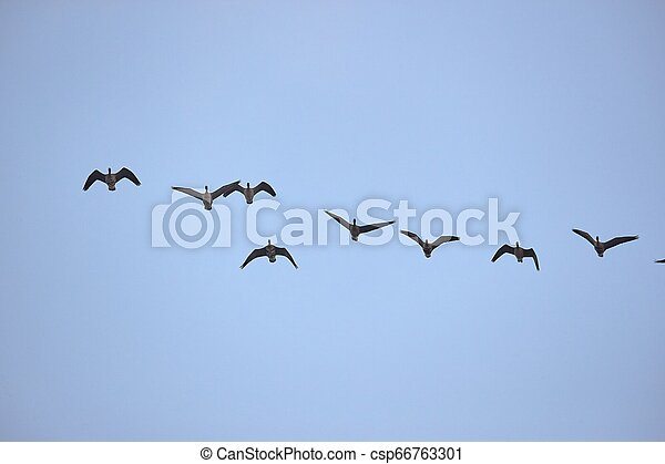 Wild Geese Flying - csp66763301