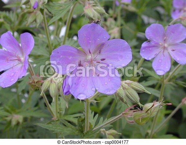wild geranium - csp0004177