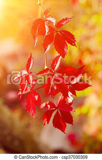 Wild grape leaves - csp37030309