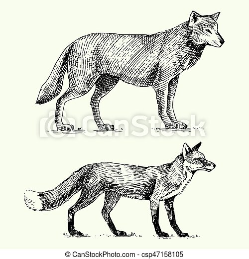 wild grey wolf and red fox engraved hand drawn in old