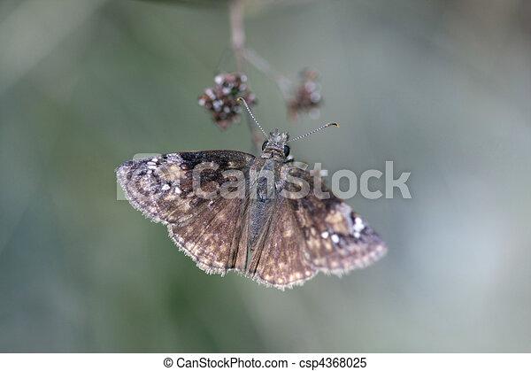 Wild Indigo Duskywing Butterfly - Erynnis Baptisiae Stock