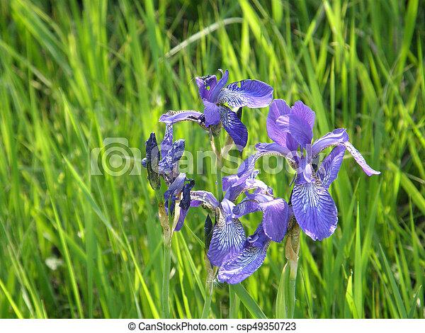 Wild irises spring flowers very beautiful image mightylinksfo