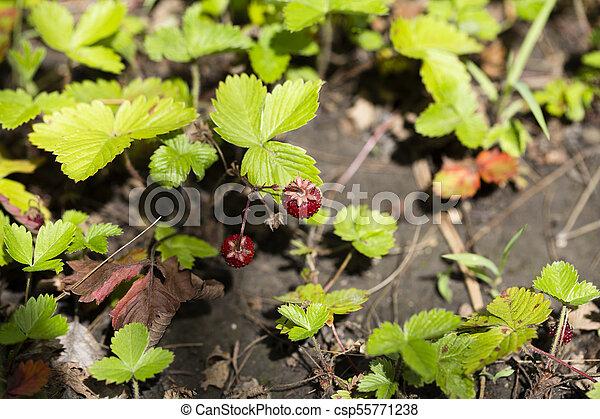 wild, leafs., pflanze, grün, erdbeer - csp55771238