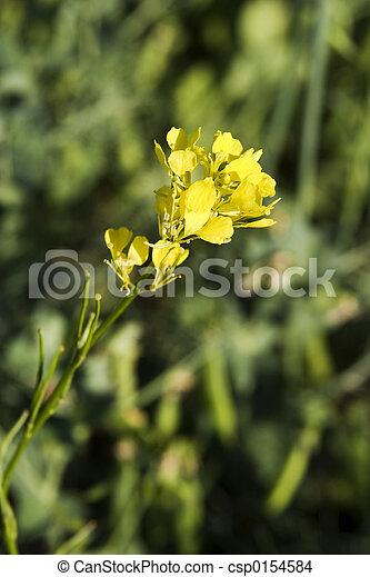 Wild Mustard Plant - csp0154584