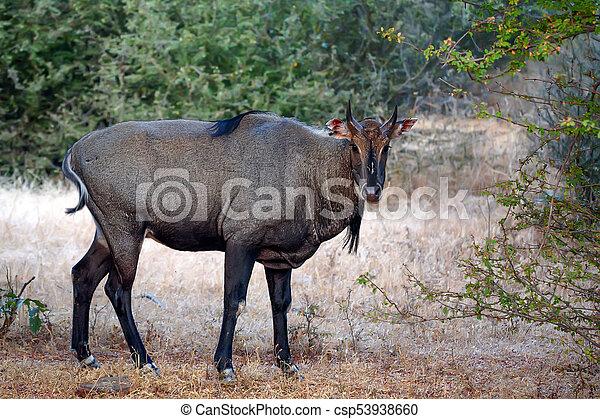 Wild Nilgai or Boselaphus tragocamelus - csp53938660