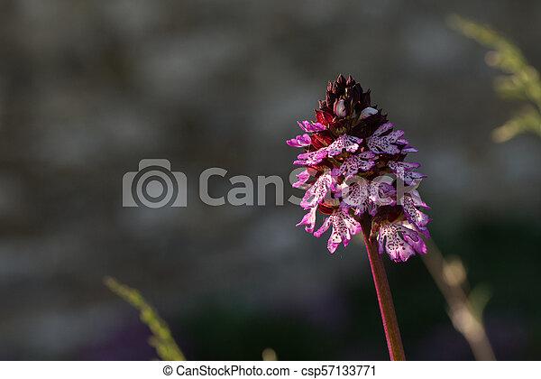 Wild orchid flower close up - csp57133771