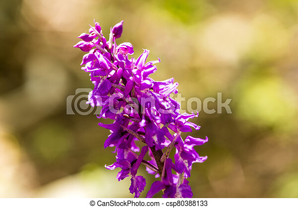 wild orchid in Germany in spring in a forest - csp80388133