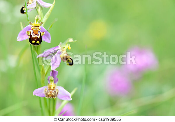 wild orchid in meadow - csp1989555