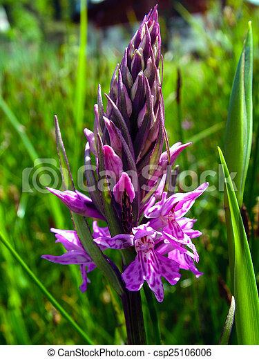 wild orchid - csp25106006
