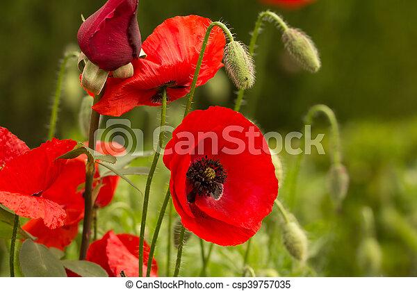 wild poppy field - csp39757035