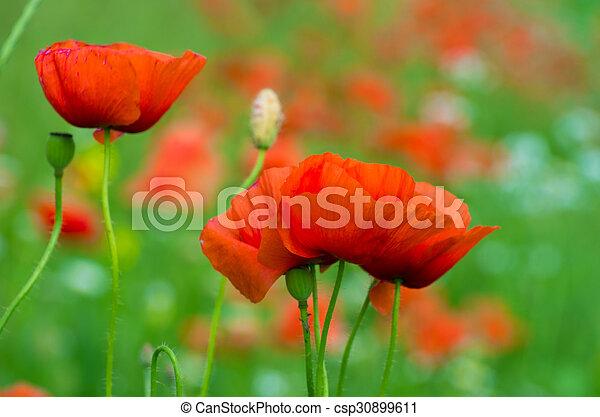 wild poppy flower - csp30899611