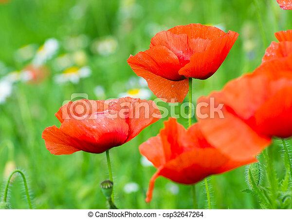 wild poppy flower - csp32647264