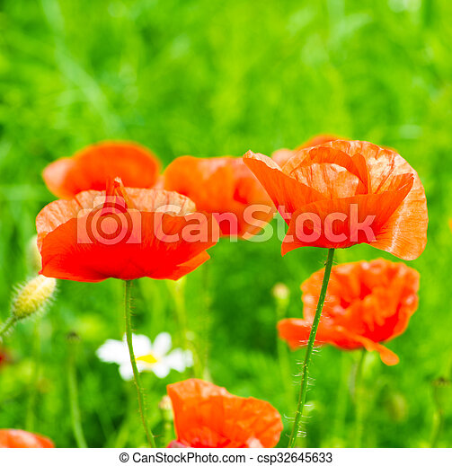 wild poppy flower - csp32645633