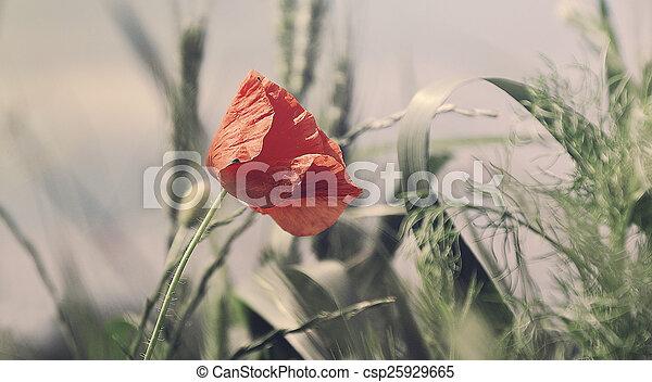 Wild poppy - csp25929665