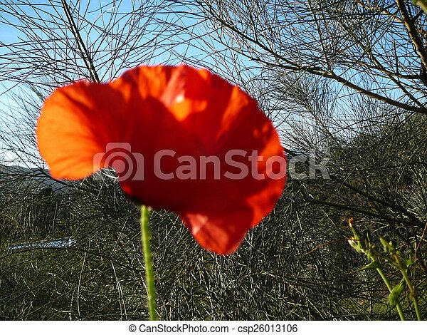 Wild Poppy - csp26013106