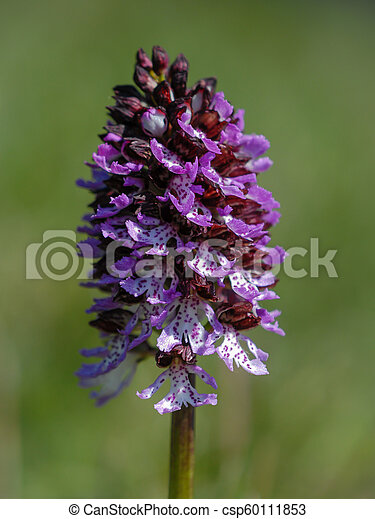 Wild purple orchid in a green meadow - csp60111853