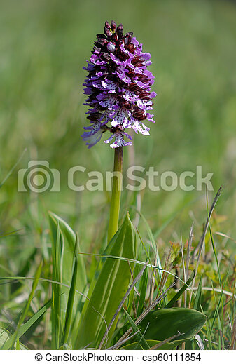 Wild purple orchid in a green meadow - csp60111854