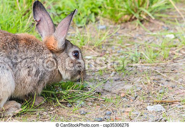 Wild rabbit in the grass - csp35306276