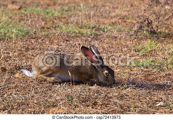 Wild rabbit in the grass - csp72413973