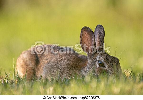 Wild Rabbit in the Grass - csp87296378