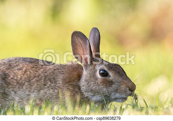 Wild Rabbit in the Grass - csp89638279