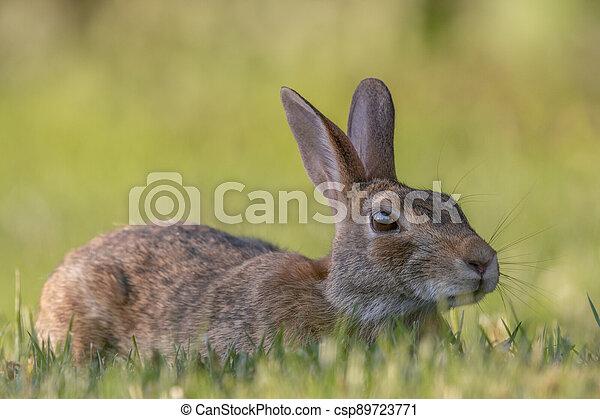 Wild Rabbit in the Grass - csp89723771