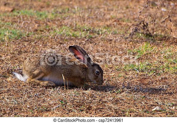 Wild rabbit in the grass - csp72413961