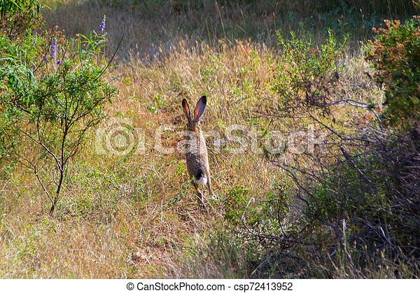 Wild rabbit in the grass - csp72413952