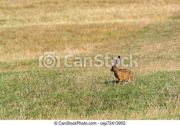 Wild rabbit in the grass - csp72413955