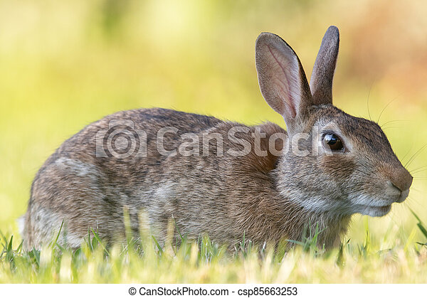 Wild Rabbit in the Grass - csp85663253