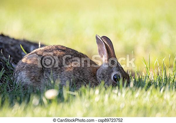 Wild Rabbit in the Grass - csp89723752