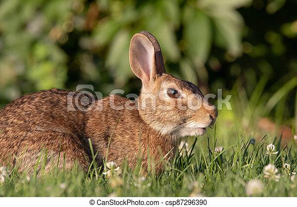 Wild Rabbit in the Grass - csp87296390