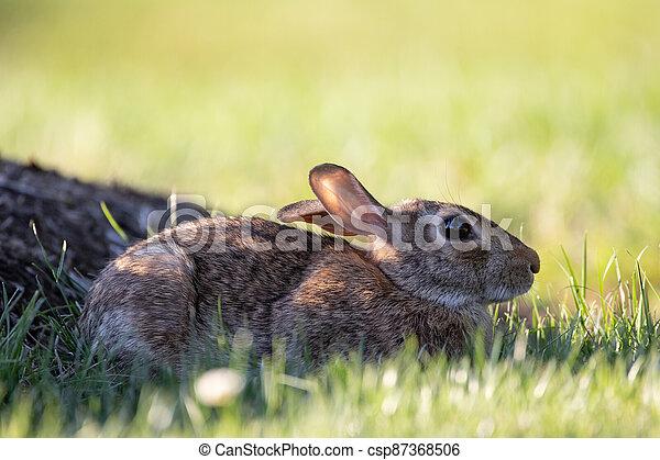 Wild Rabbit in the Grass - csp87368506
