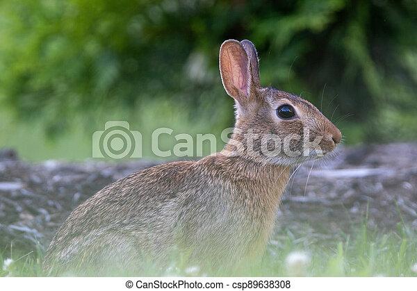 Wild Rabbit in the Grass - csp89638308